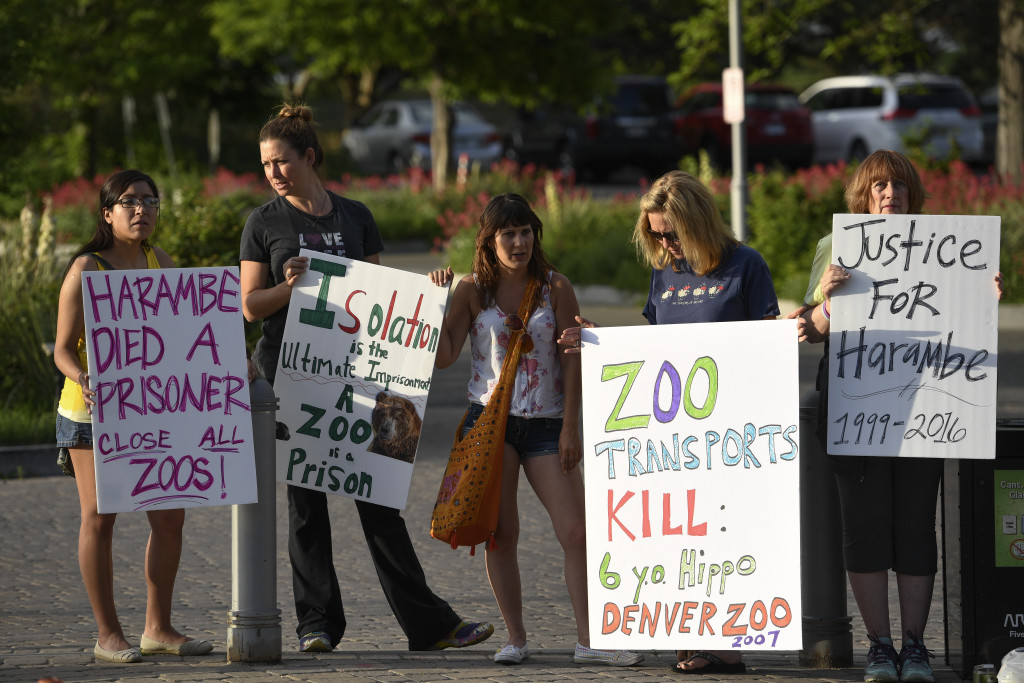 DENVER, CO - JUNE 03: More than 20 protesters hold up signs during a vigil June 3, 2016, 2016 at the Denver Zoo. This is in remembrance of Harambe, a 17-year old endangered gorilla shot and killed at the Cincinnati zoo after 3-year-old boy fell into his enclosure. Harambe had to be put down to get the boy out. The goal of this vigil is to educate the public about the many senseless tragedies that occur daily in zoos across the world,Ó said organizers. (Photo By John Leyba/The Denver Post)